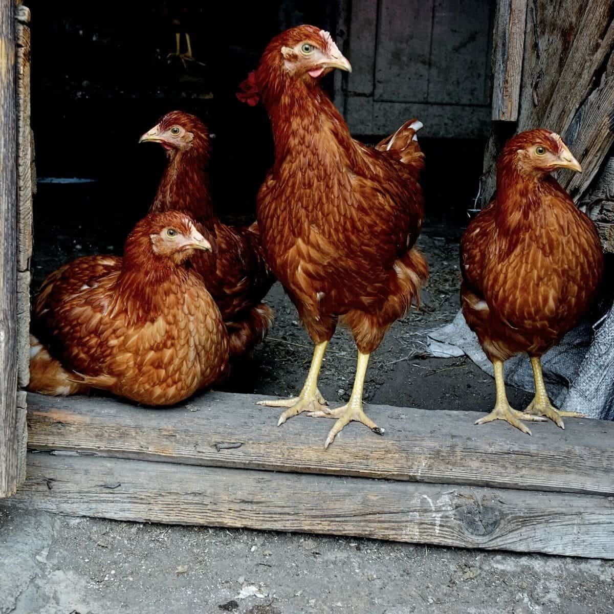 chickens along with homestead animals