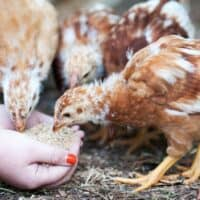 everything you need to know about raising chickens