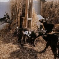 goats eating hay from their goat shelter